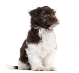 havanese-puppy-sitting-and-looking-away-isolated-o-PWHUHW3.jpg