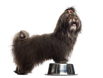 side-view-of-a-havanese-panting-paws-in-a-metallic-PS93VWK.jpg
